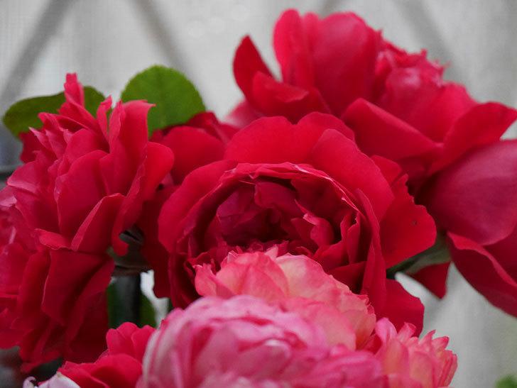 雨予報だったので咲いているバラを切り花にした。2020年-055.jpg