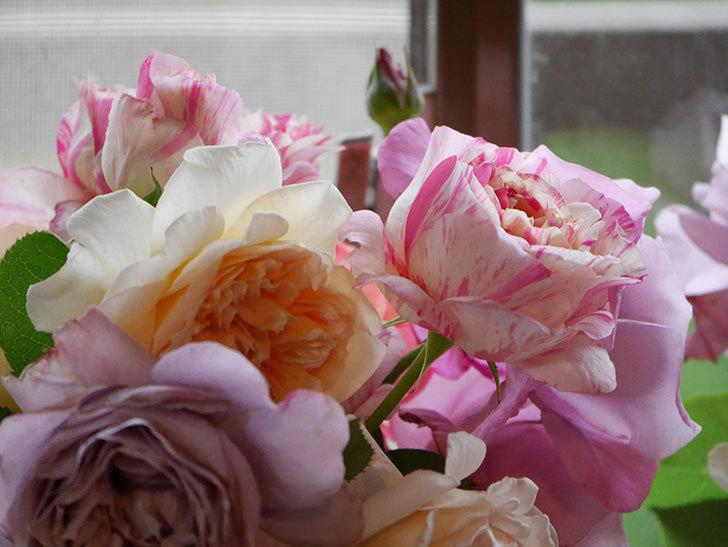 雨予報だったので咲いているバラを切り花にした。2020年-087.jpg