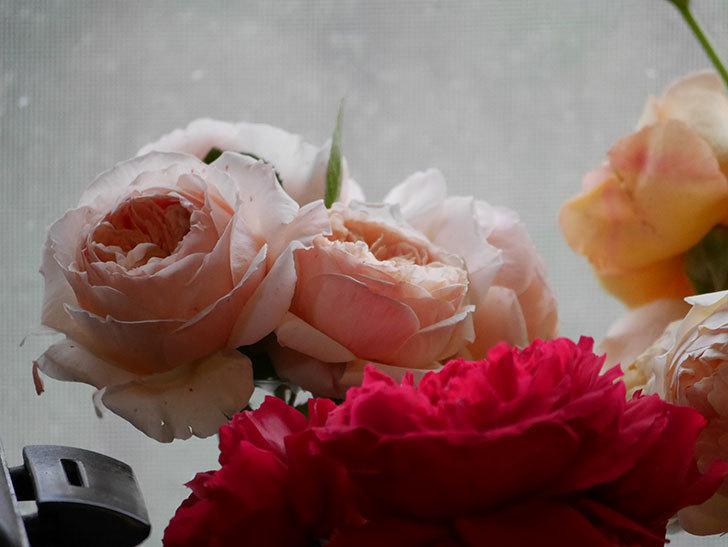 雨予報だったので咲いているバラを切り花にした。2020年-091.jpg