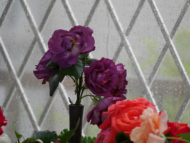 雨予報だったので咲いているバラを切り花にした。2020年-102.jpg