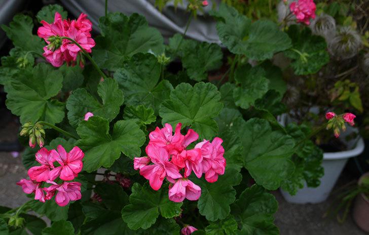 雪で折れたゼラニウムを別の鉢に挿して育てたら花が咲いた2.jpg