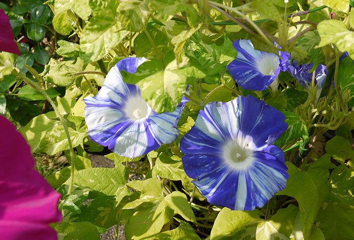 青いアサガオがたくさん咲いた。2015年-4.jpg