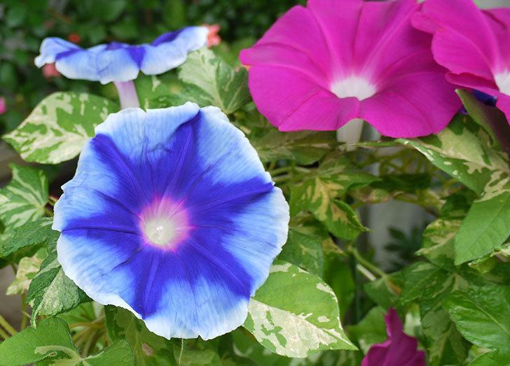 青いアサガオがたくさん咲いた。2015年-6.jpg