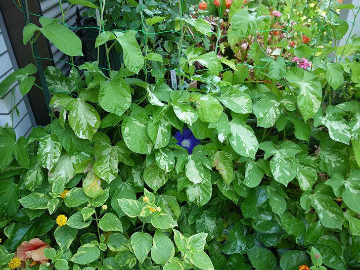 青いアサガオの花が咲いた。2017年-3.jpg