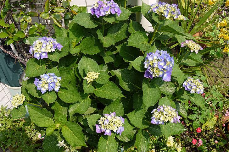 青いアジサイが咲き始めた1.jpg