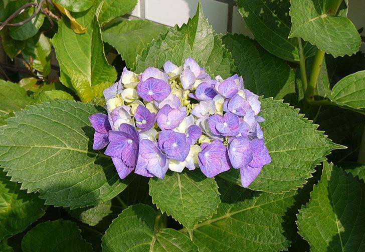 青いアジサイが咲き始めた3.jpg