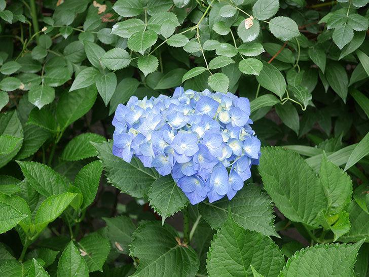 青いアジサイの花が咲いた。2021年-001.jpg