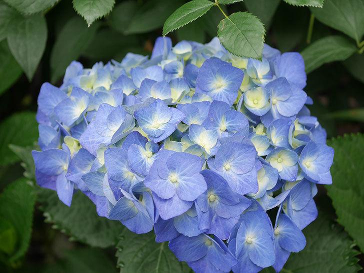 青いアジサイの花が咲いた。2021年-002.jpg