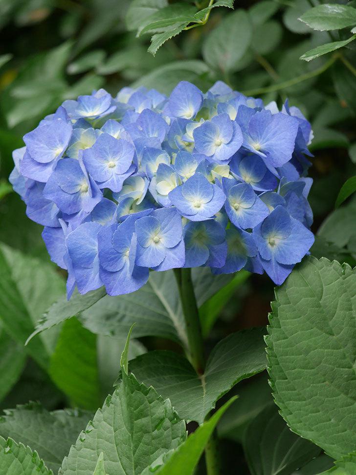 青いアジサイの花が咲いた。2021年-006.jpg