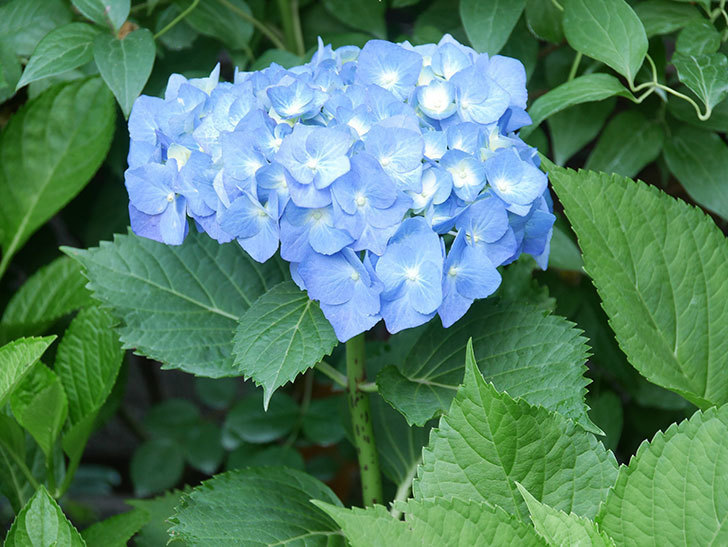 青いアジサイの花が咲いた。2021年-007.jpg