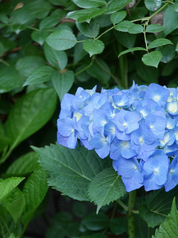 青いアジサイの花が咲いた。2021年-008.jpg