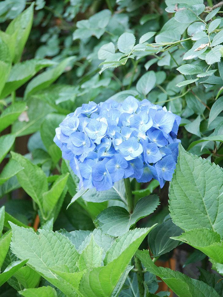 青いアジサイの花が咲いた。2021年-009.jpg