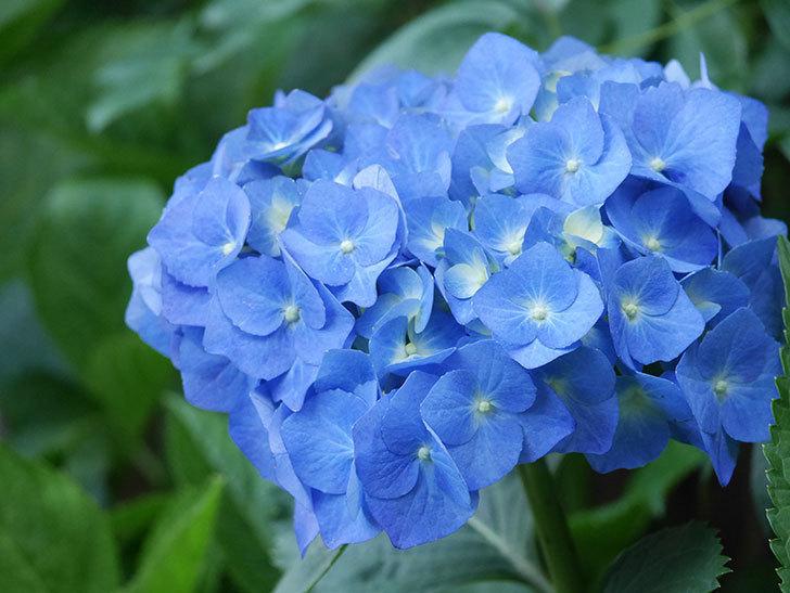 青いアジサイの花が咲いた。2021年-012.jpg