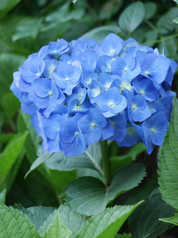 青いアジサイの花が咲いた。2021年-013.jpg
