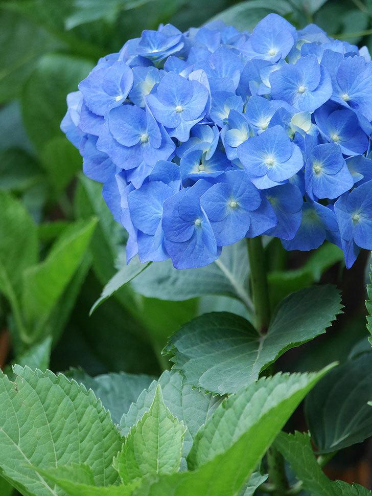 青いアジサイの花が咲いた。2021年-014.jpg