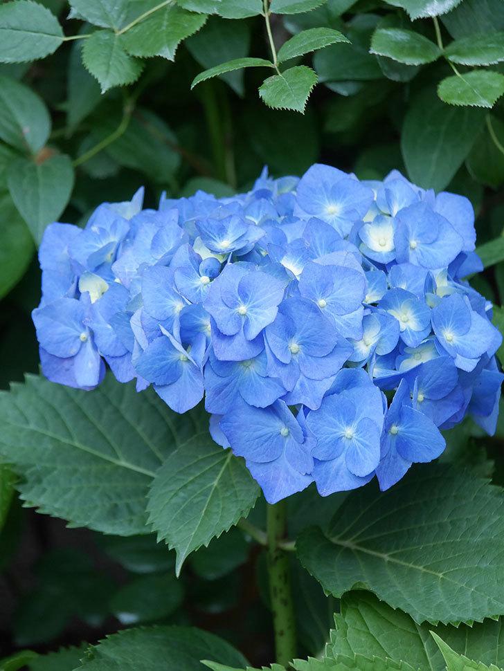 青いアジサイの花が咲いた。2021年-015.jpg