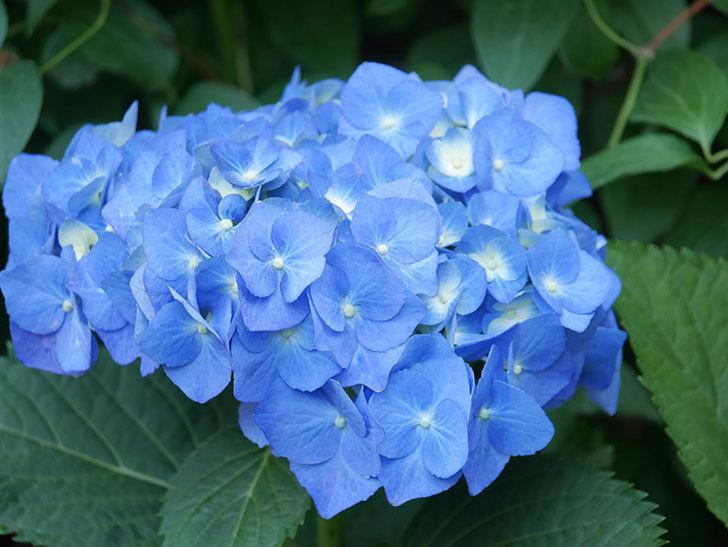 青いアジサイの花が咲いた。2021年-016.jpg