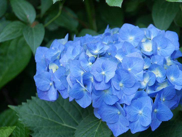 青いアジサイの花が咲いた。2021年-017.jpg