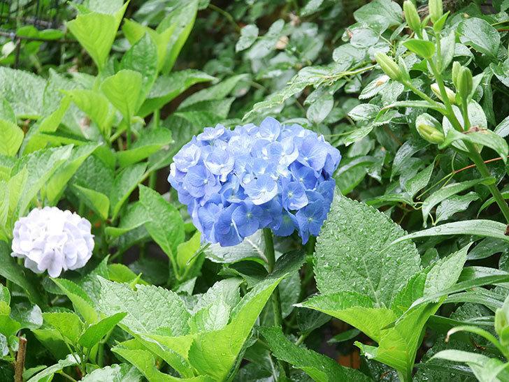 青いアジサイの花が咲いた。2021年-018.jpg
