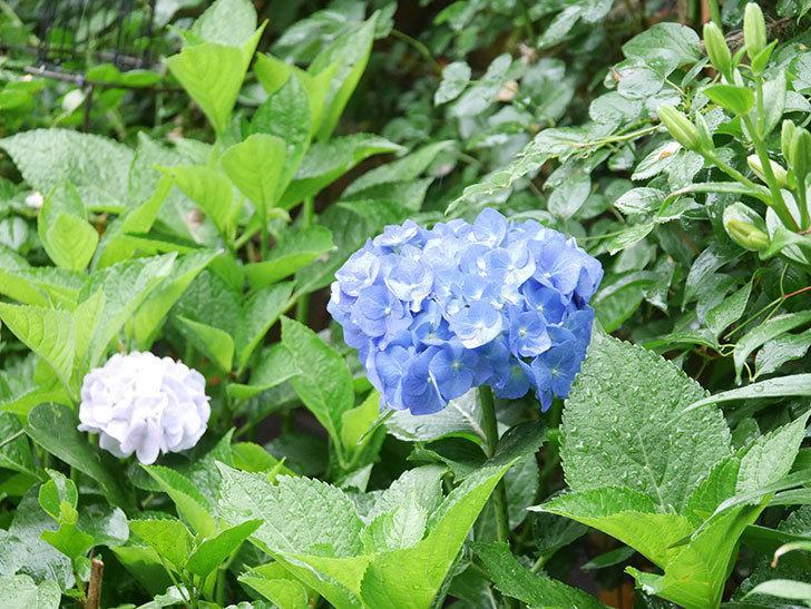 青いアジサイの花が咲いた。2021年-019.jpg