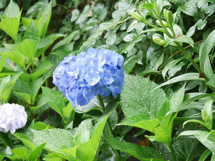 青いアジサイの花が咲いた。2021年-020.jpg