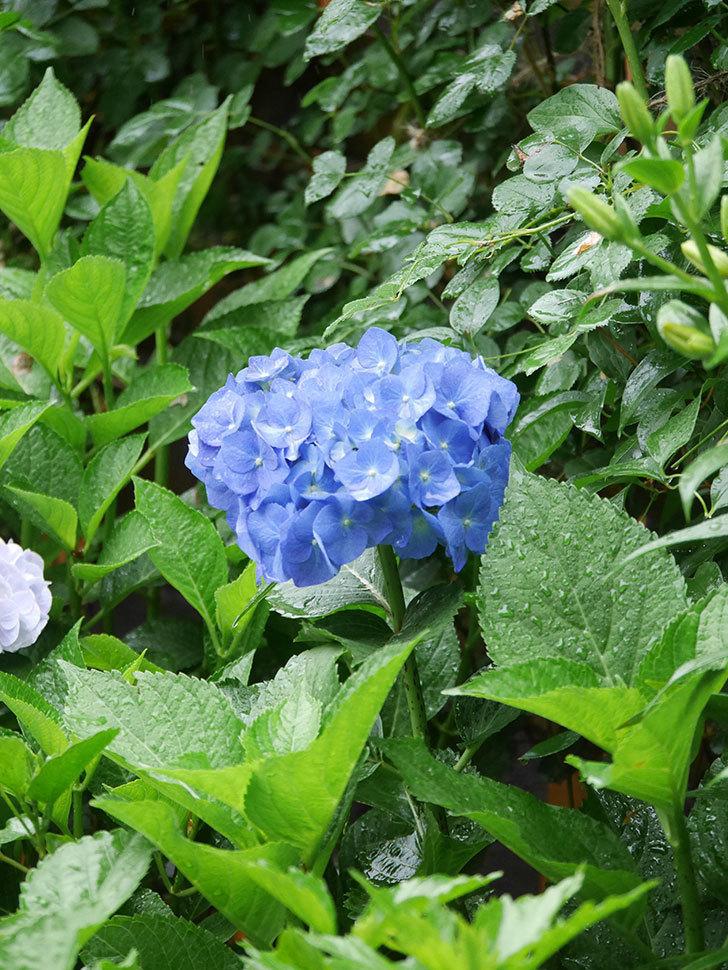 青いアジサイの花が咲いた。2021年-021.jpg