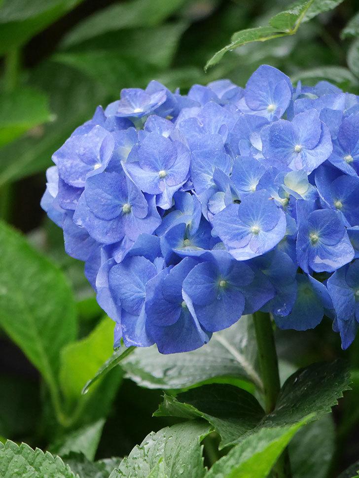 青いアジサイの花が咲いた。2021年-024.jpg
