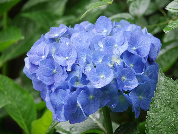 青いアジサイの花が咲いた。2021年-025.jpg