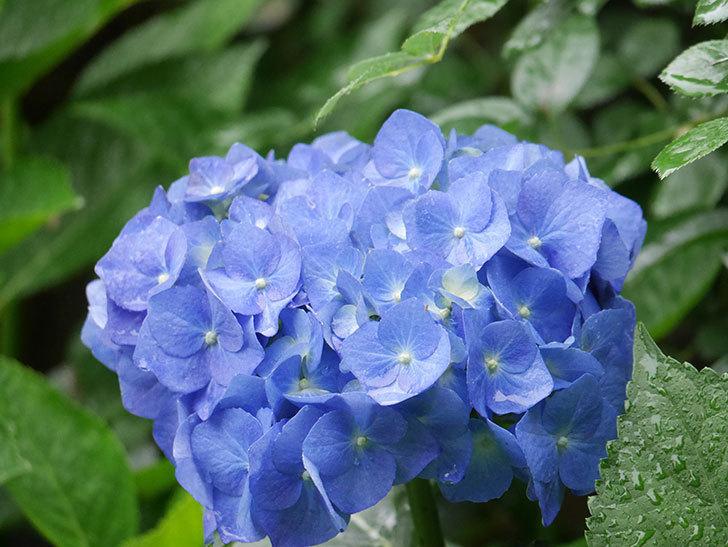 青いアジサイの花が咲いた。2021年-026.jpg