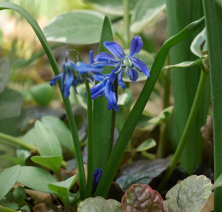 青いシラー・シベリカの花が増えてきた。2019年-1.jpg