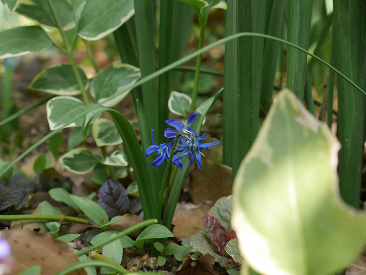 青いシラー・シベリカの花が増えてきた。2019年-3.jpg