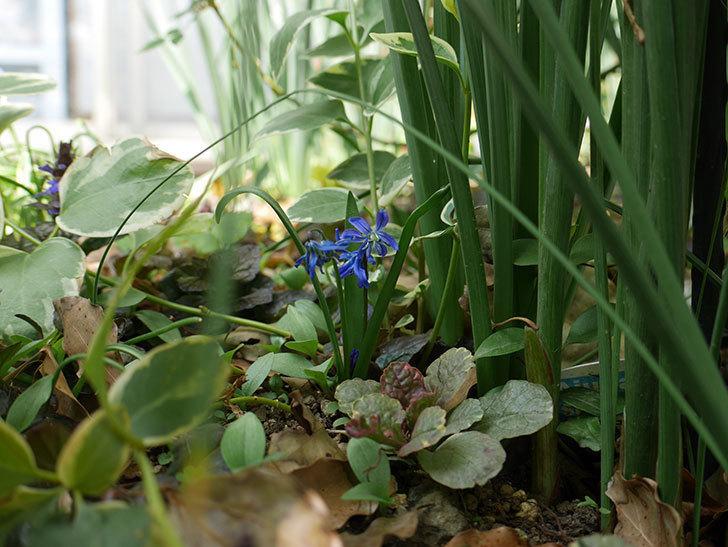 青いシラー・シベリカの花が増えてきた。2019年-4.jpg