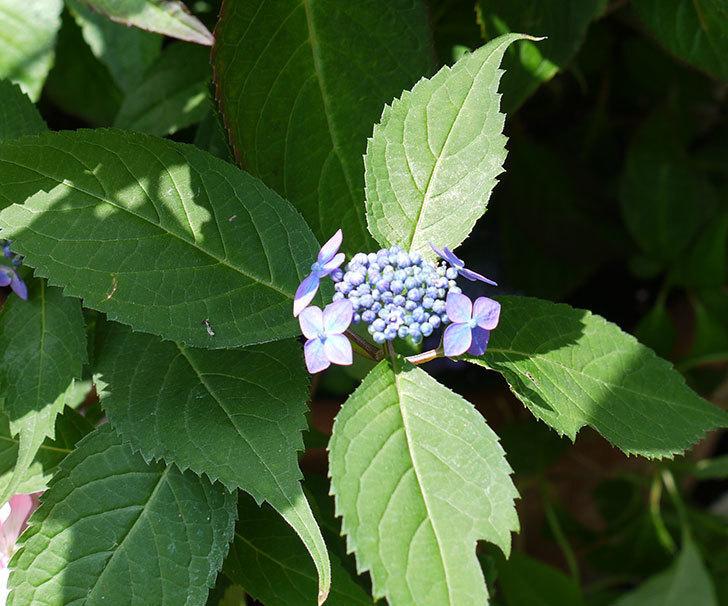 青いヤマアジサイが咲いた。2017年-3.jpg