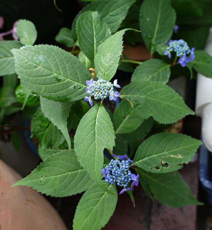 青いヤマアジサイが咲きだした。2017年-1.jpg