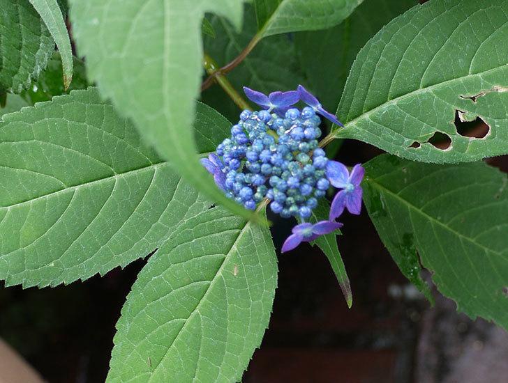 青いヤマアジサイが咲きだした。2017年-2.jpg