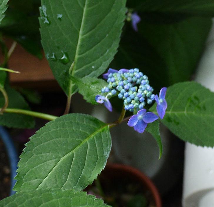 青いヤマアジサイが咲きだした。2017年-3.jpg
