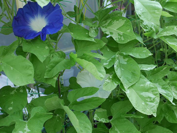 青い筒白(陽光抜け)のアサガオが咲いた。2018年-4.jpg
