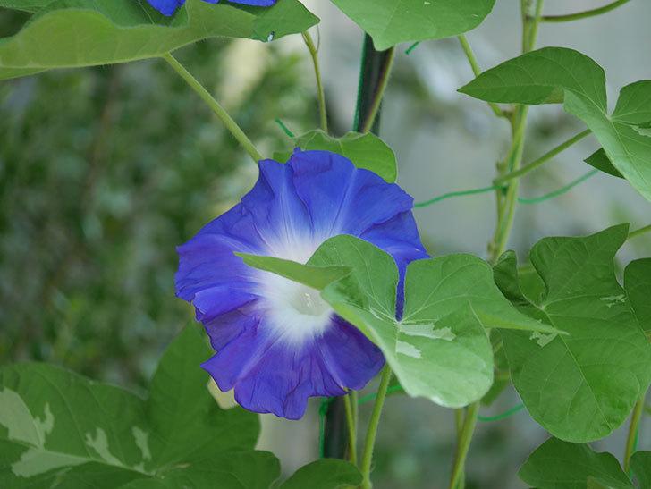 青い筒白(陽光抜け)のアサガオが咲いた。2020年-001.jpg