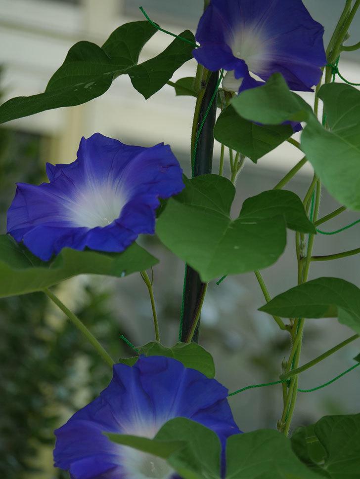 青い筒白(陽光抜け)のアサガオが咲いた。2020年-002.jpg