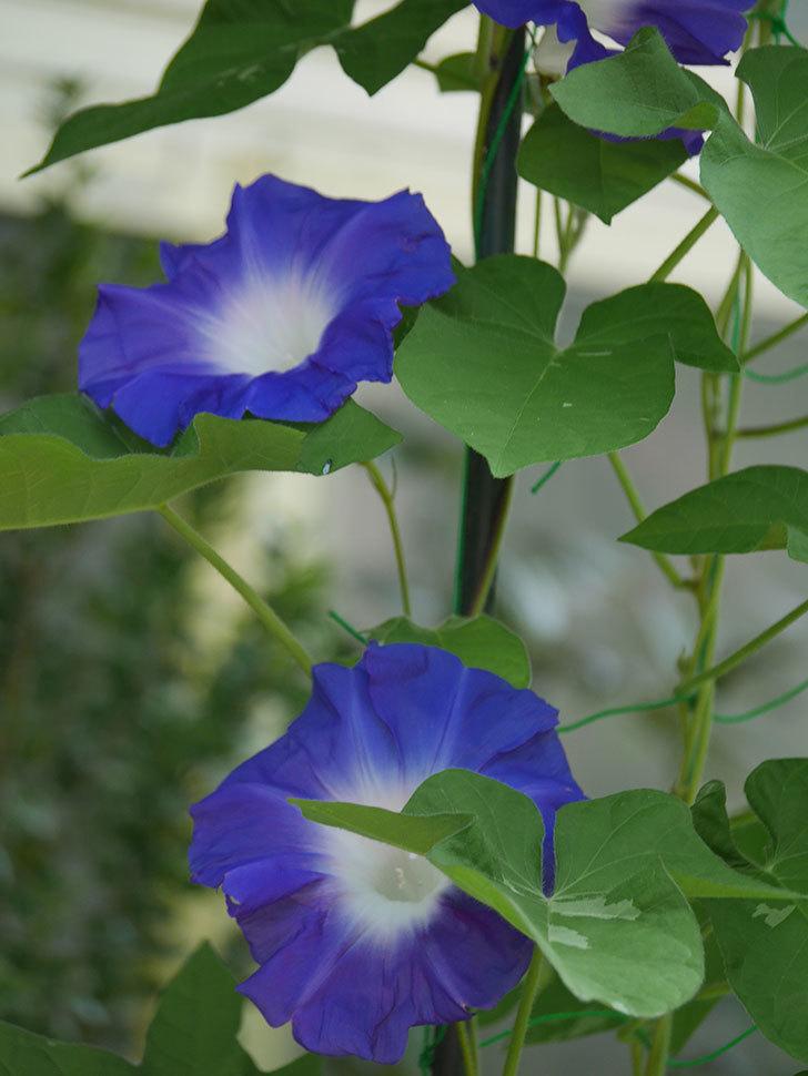 青い筒白(陽光抜け)のアサガオが咲いた。2020年-003.jpg