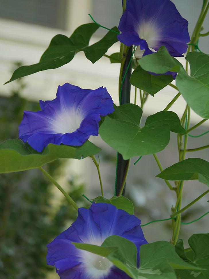 青い筒白(陽光抜け)のアサガオが咲いた。2020年-004.jpg