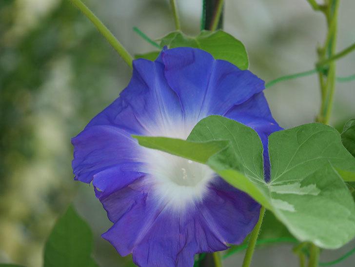 青い筒白(陽光抜け)のアサガオが咲いた。2020年-008.jpg