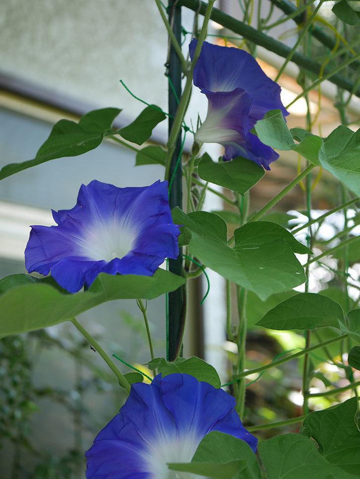 青い筒白(陽光抜け)のアサガオが咲いた。2020年-009.jpg