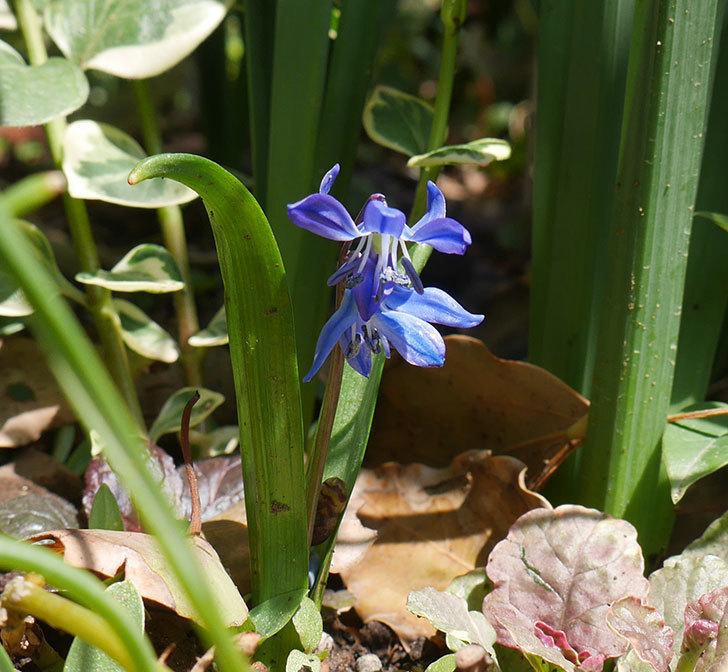 青のシラー・シベリカの花が咲いた。2019年-1.jpg