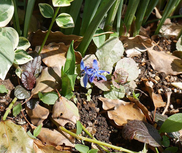 青のシラー・シベリカの花が咲いた。2019年-2.jpg