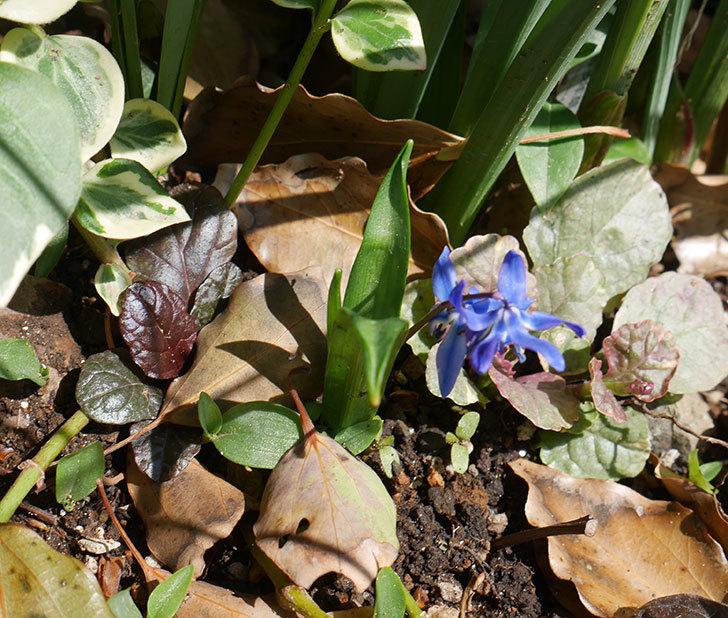 青のシラー・シベリカの花が咲いた。2019年-4.jpg