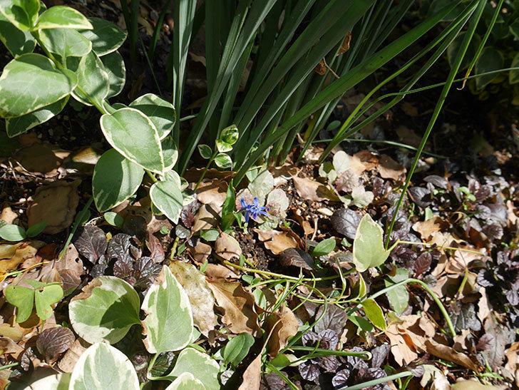 青のシラー・シベリカの花が咲いた。2019年-5.jpg