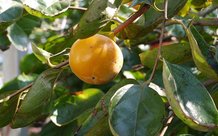 食べ頃の柿を収穫した1.jpg