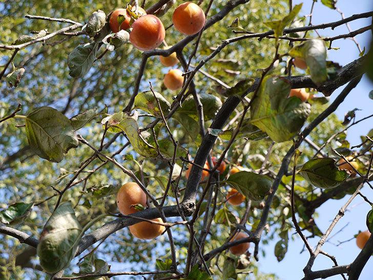 食べ頃の柿を収穫した2.jpg
