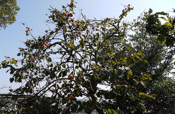 食べ頃の柿を収穫した3.jpg